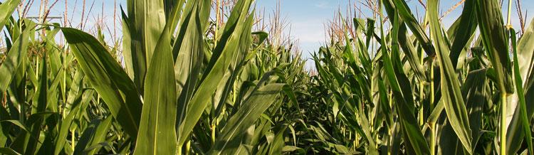 Retenciones al cultivo de maíz: Mitos y verdades.