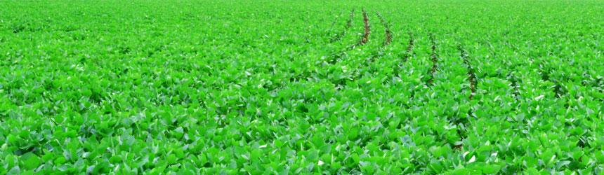 """Soja: Argentinización del cultivo de la soja en la """"década ganada"""""""