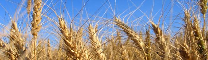 Agro exportaciones: Complejo triguero