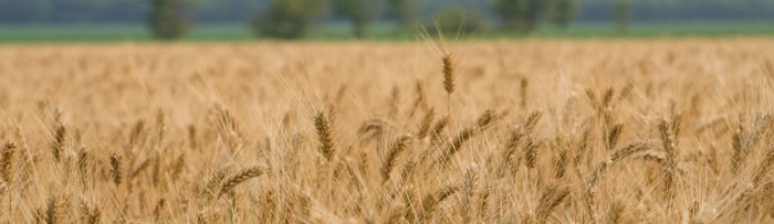 Trigo: Se otorgaron muy pocos ROE para la nueva cosecha