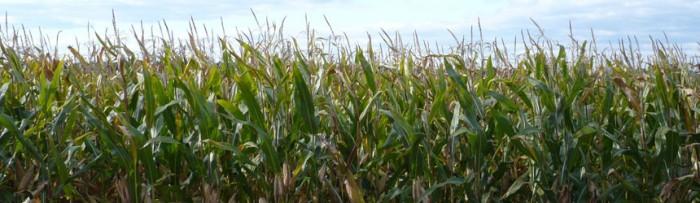 Maíz: El precio del maíz en Argentina es más alto que en Chicago